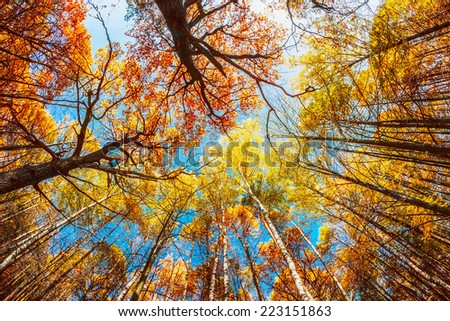 tops of the trees in the autumn forest. photographed on a fisheye lens - stock photo