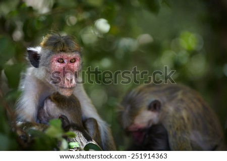 Toque macaque female breast feeding baby sitting at the tree - stock photo