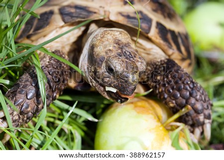 tortoise eating apple closeup snout on green grass background - stock photo