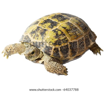 tortoise isolated on white background - stock photo