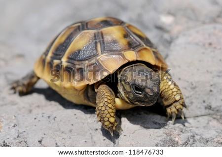 Tortoise moving slowly on the rocks - stock photo