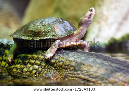 tortoise swiming on the back of crocodile - stock photo