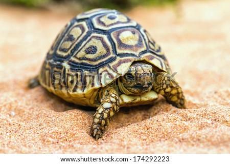 Tortoise (Testudo hermanni) on the sand - stock photo