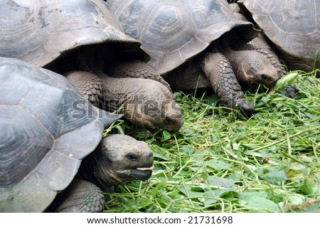 Tortoises are herbivorous animals with a diet comprising cactus, grasses, leaves, vines, and fruit. Tortoises eat a large quantity of food when it is available at the expense of incomplete digestion. - stock photo