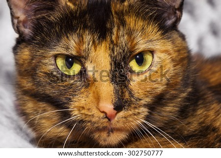 Tortoiseshell cat closeup portrait - stock photo