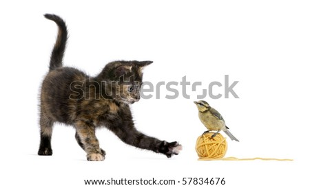Tortoiseshell kitten playing with a blue tit standing on a ball of yellow wool yarn in front of white background - stock photo