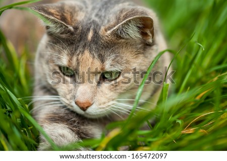 Tortoiseshell-tabby cat playing in long green and yellow grass - stock photo