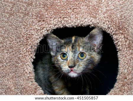 tortoiseshell torbie tabby kitten peeking out of a carpet post. The tortie pattern is only present in female tabby cats, a recessive trait.  - stock photo