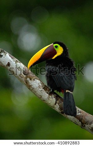 Toucan big beak bird Chesnut-mandibled. Toucan sitting on the branch in tropical rain with green jungle background. Toucan in the nature habitat. Black toucan with yellow bill in the Costa Rica. Visible noise in background.  - stock photo