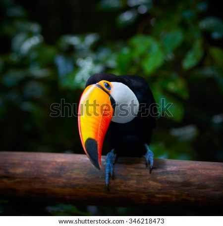 Toucan on the branch in tropical forest of Brazil - stock photo