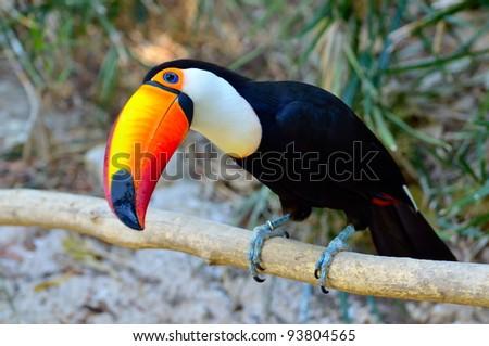 toucan outdoor - Ramphastos sulphuratus - stock photo