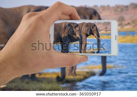 Tourist hand taking photograph of elephants using smart phone camera - stock photo