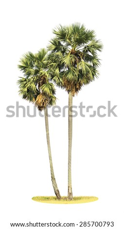 tow borassus flabellifer (asian palmyra palm, toddy palm, sugar palm, or cambodian palm) tropical tree, isolated on white background. This has clipping path.  - stock photo