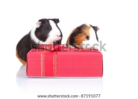 Tow guinea pigs hiding behind a red gift isolated - stock photo