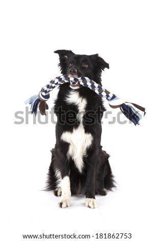 Toy carrying Border collie  - stock photo