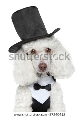 Toy Poodle in black waistcoat and hat on white background - stock photo