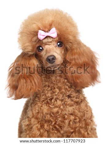 Toy poodle puppy close-up portrait on a white background - stock photo