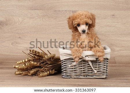 Toy poodle puppy in basket on wooden background - stock photo