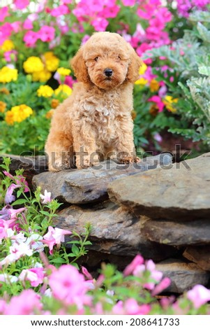Toy Poodle puppy sitting on rock wall in garden - stock photo