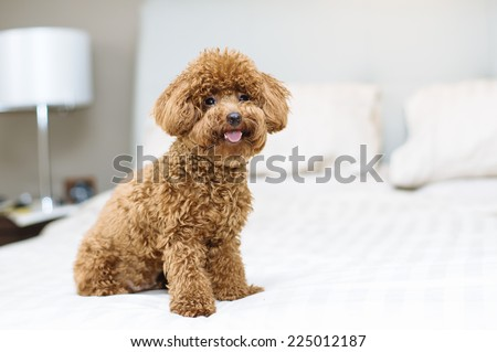 Toy Poodle sitting on bed - stock photo