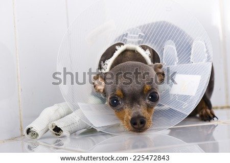 Toy terier in broken arm. Animal hospital. - stock photo