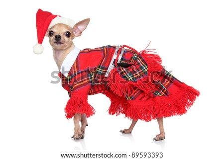 Toy terrier in fashion Santa Costume on a white background - stock photo