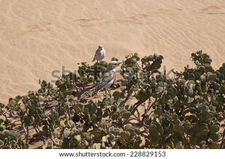 Trac-trac chat, Namib Desert near Swakopmund, Namibia, Africa - stock photo