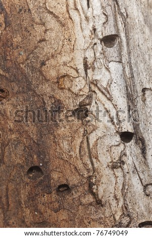 Trace in wood after metallic wood boring beetles, macro photo, the crescent shape of the holes are typical for the metallic wood boring beetle (Buprestidae) - stock photo
