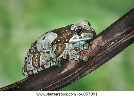 Trachycephalus resinifictrix (Harlequin frog) is sitting on a branch of a tree. - stock photo