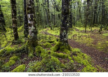 Track through moss covered trees, Fiordland National Park, South Island, New Zealand - stock photo