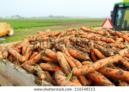 tractor with harvest of carrots on farmland - stock photo