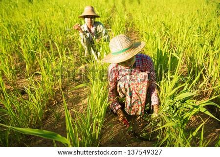 Traditional Asian farmers working in corn field, Bagan, Myanmar - stock photo