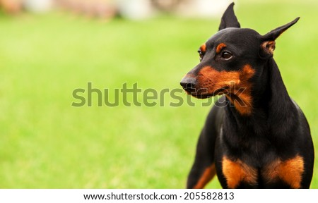 "Traditional ""Black and Tan / Rust  Doberman Pinscher portrait - stock photo"