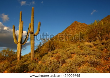 Traditional Desert Saguaro - stock photo