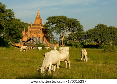 traditional house and grazing zebu cows in front of temple in Bagan, Myanmar(Burma) - stock photo