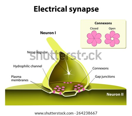 Trafficking of channels at electrical synapses. Electrical synapses work with practically no time delay. suspected of contributing to the spread of seizure discharges in epilepsy. - stock photo