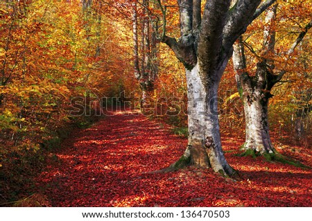 trail in autumn beech forest with vivid colors - stock photo
