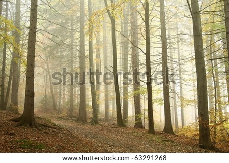 Trail on the edge of coniferous trees in the misty autumnal forest in a nature reserve. - stock photo