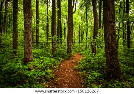 Trail through tall trees in a lush forest, Shenandoah National Park, Virginia. - stock photo