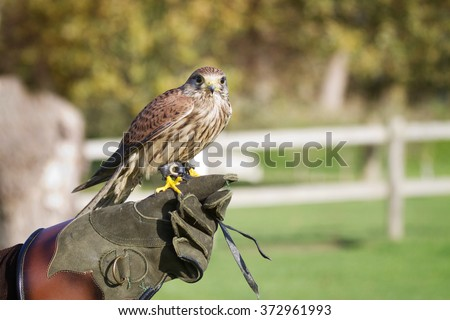 Trained hawk, used in the sport of falconry, stands perched on the trainer's gloved hand. - stock photo