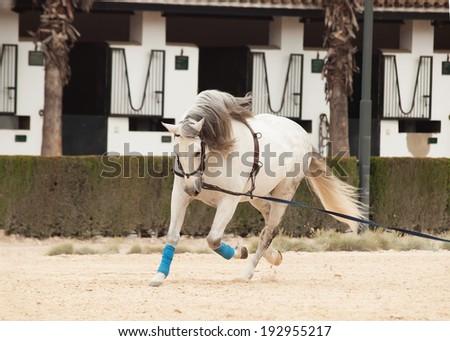 Training white horse on longe. Andalisia, Spain - stock photo