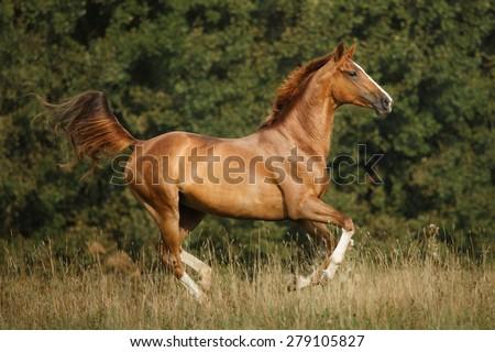 trakehner horse - stock photo