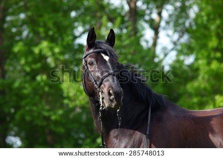 Trakehner horse with classic bridle on dark green background - stock photo