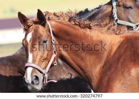 Trakehner mare breed. Beautiful close up portrait. - stock photo