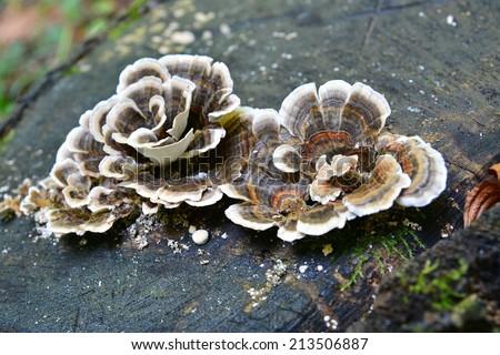 trametes versicolor, also known as coriolus versicolor and polyporus versicolor mushroom - stock photo