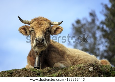 Tranquil Scene with Domestic cows - stock photo