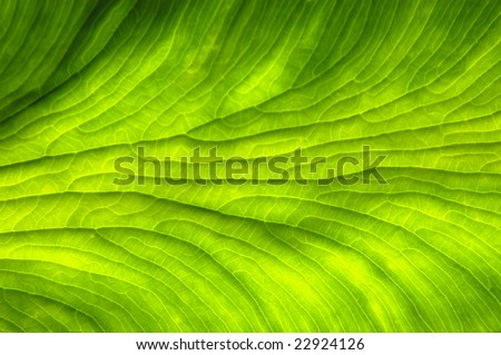 translucent leaf - stock photo