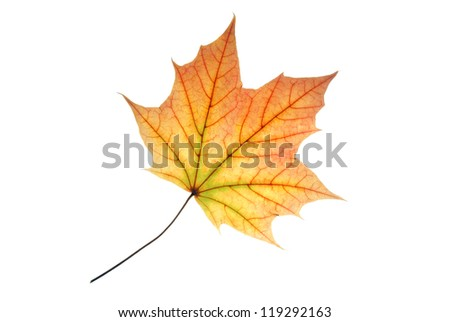 Translucent pastel colored maple leaf with well visible vein structure, isolated on white - stock photo
