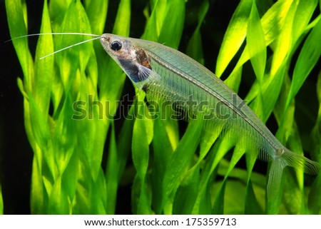 Transparent Glass or Ghost catfish - stock photo