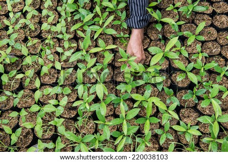 transplantation plant seedlings in the greenhouse - stock photo